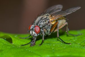 Flies pest control Brisbane