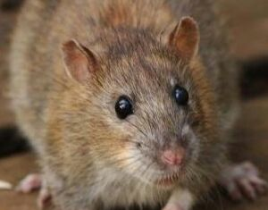 Some effective measures for rats control Brisbane