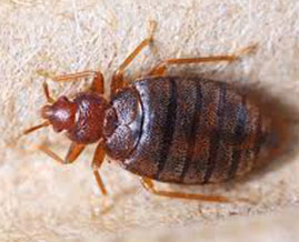 bedbugs control Brisbane